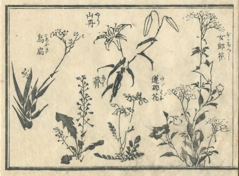 """The picture is drown """"Astragalus sinicus"""" and """"Patrinia scabiosifolia"""" and """"Lilium maculatum"""" and """"烏扇"""" are drown.Probably """"Iris domestica"""" is """"Astragalus sinicus"""""""