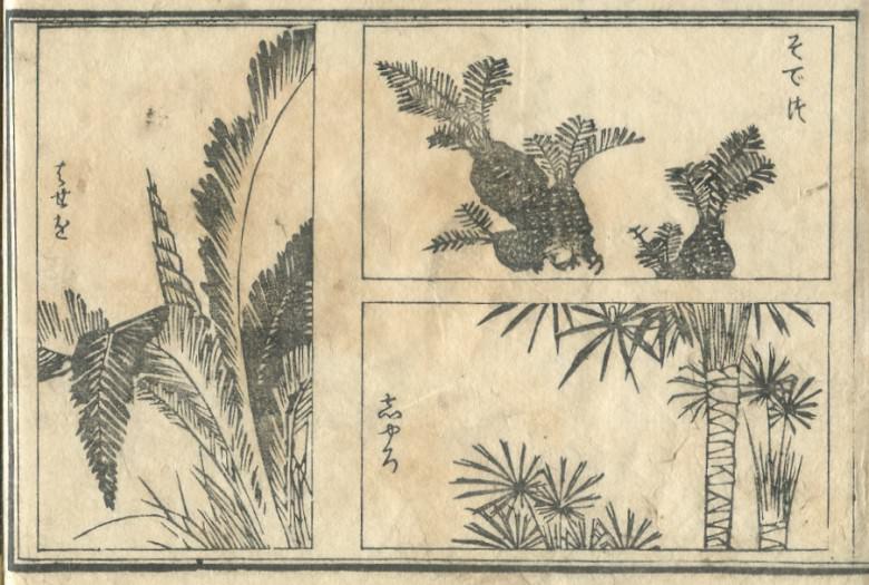 """Japanese sago palm"" and ""hemp palm"" are drawn."